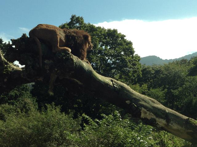 車窓から見たライオン(富士サファリパーク)