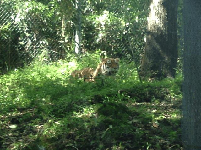 車窓から見たトラ(富士サファリパーク)